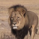 Social media lashes out at death of Cecil the Lion