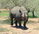According to Save The Rhino statistics, over 1000 rhinos are killed annually in South Africa. These harrowing poaching statistics display a gloomy future for survival of this beautiful species.