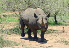 MTN's world-leading anti-rhino poaching solution saving rangers' lives