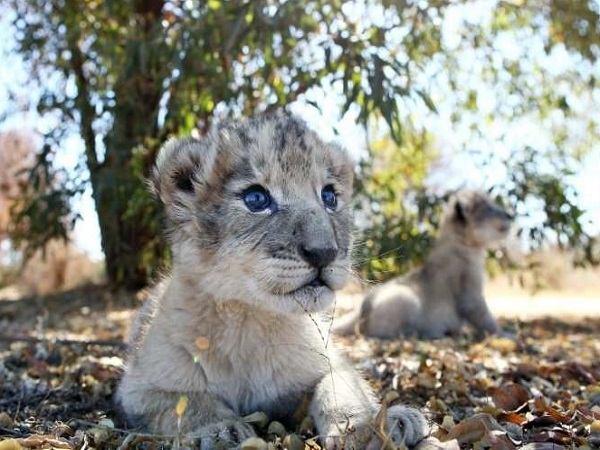 Born through artificial insemination, lion cubs Victor and Isabel at the Ukutula conservation centre, near Pretoria, September 14, 2018. Picture: Phill Magakoe / AFP